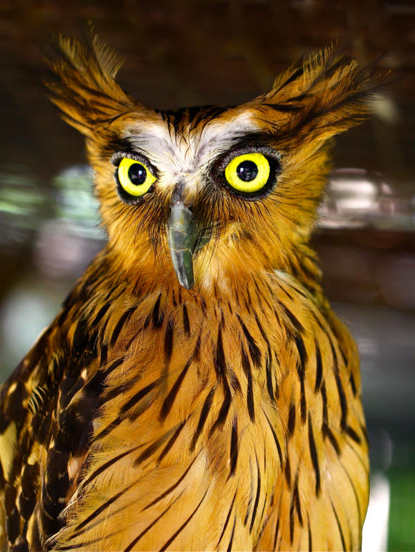 Buffy Fish Owl by jeffzz111