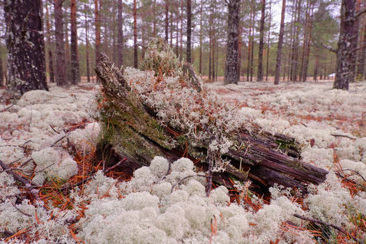 Old snag in the taiga