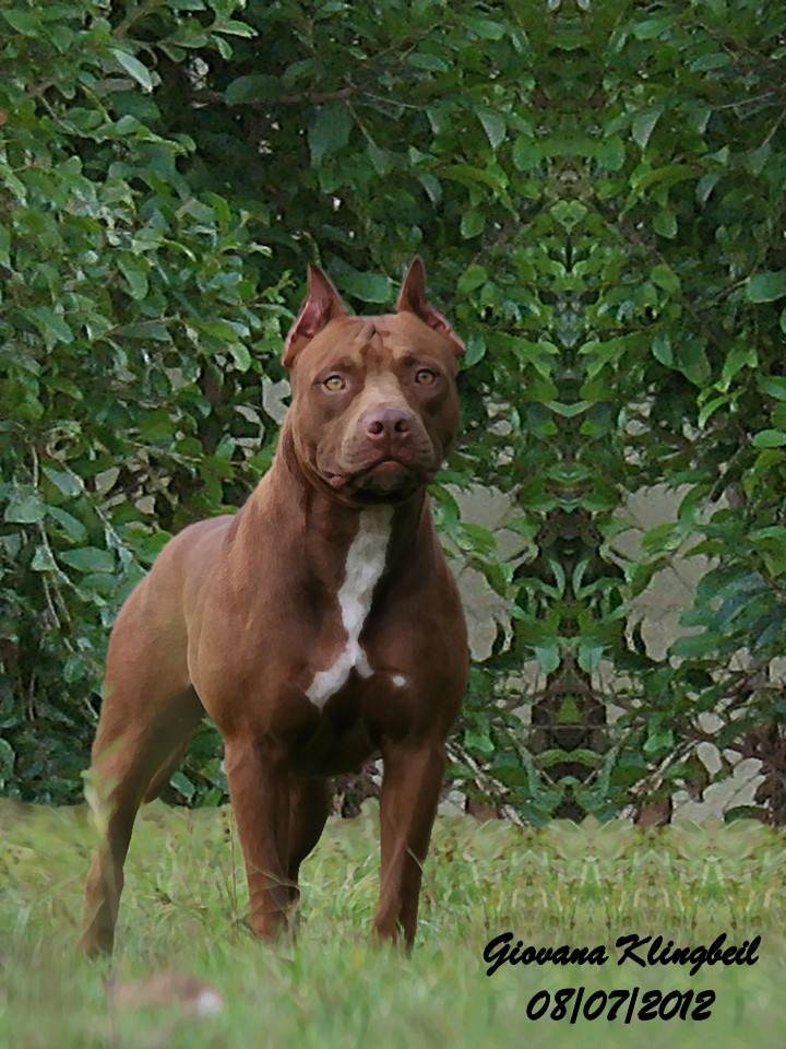 Xl pitbull puppies for sale in illinois