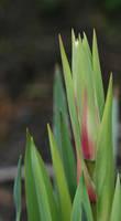 Growth by scarlet dahlia