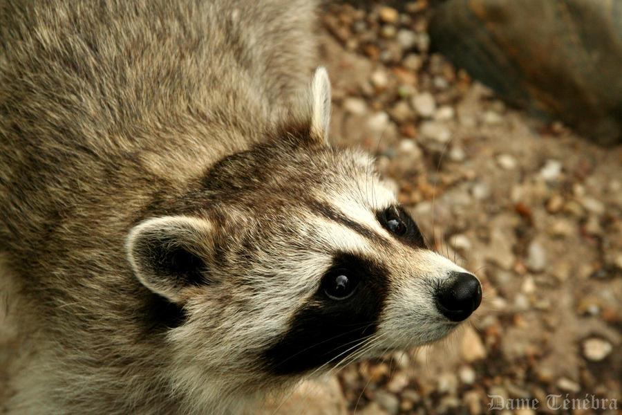 Begging Raccoon by DameTenebra