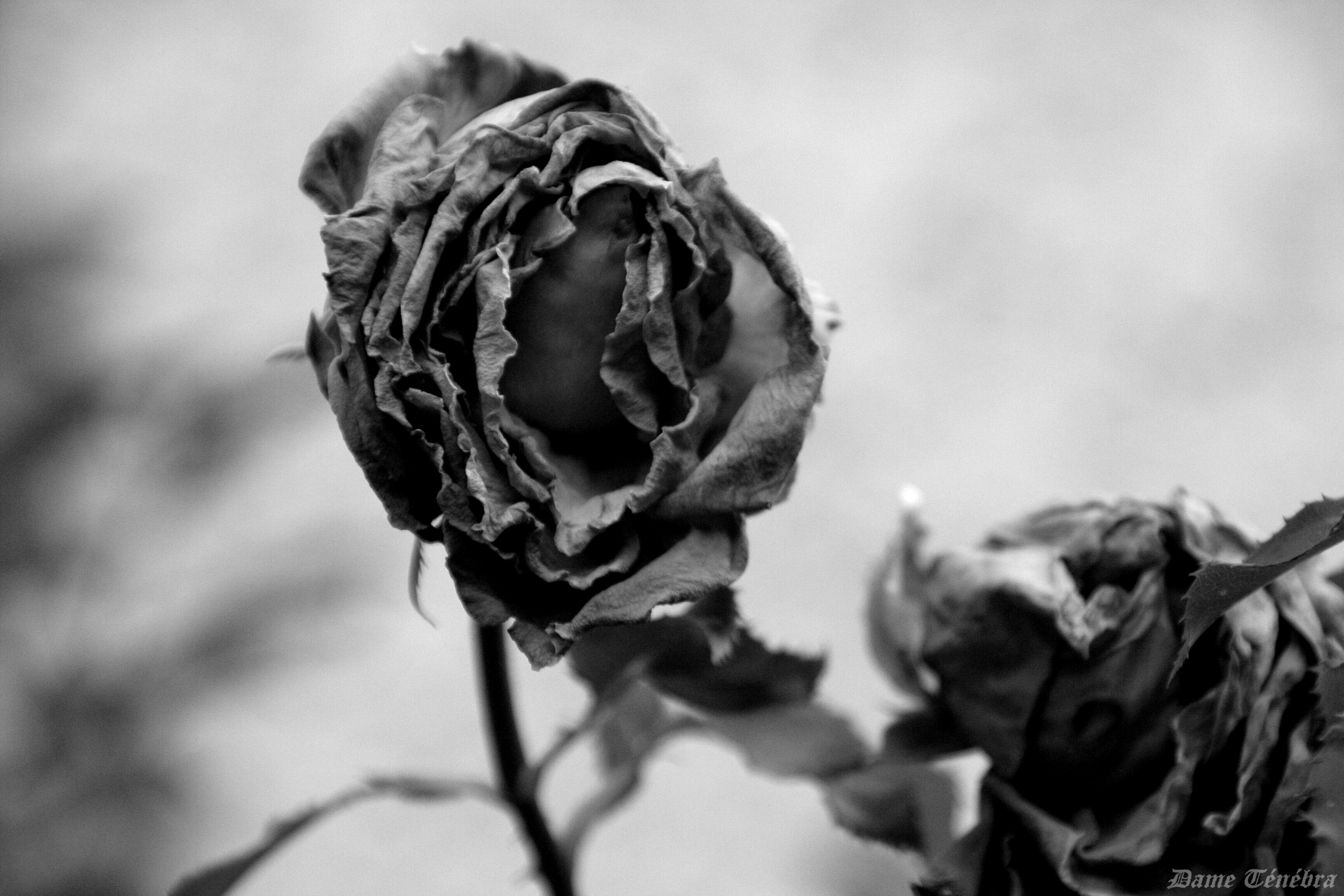 Dead Roses By DameTenebra