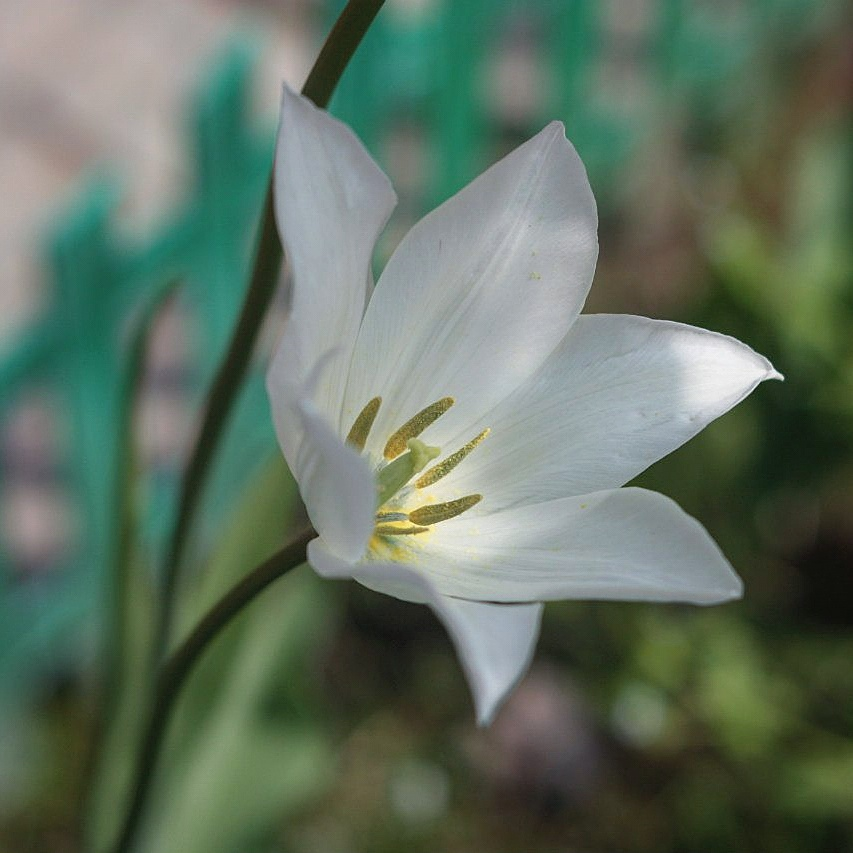 tulip by ShamAnn366