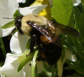 BUMBLING BEE by DLRinSRQ