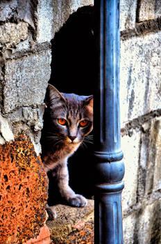 Chiang Mai Cat