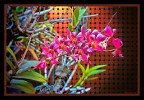 Thailand - Chiang Mai - Flowers