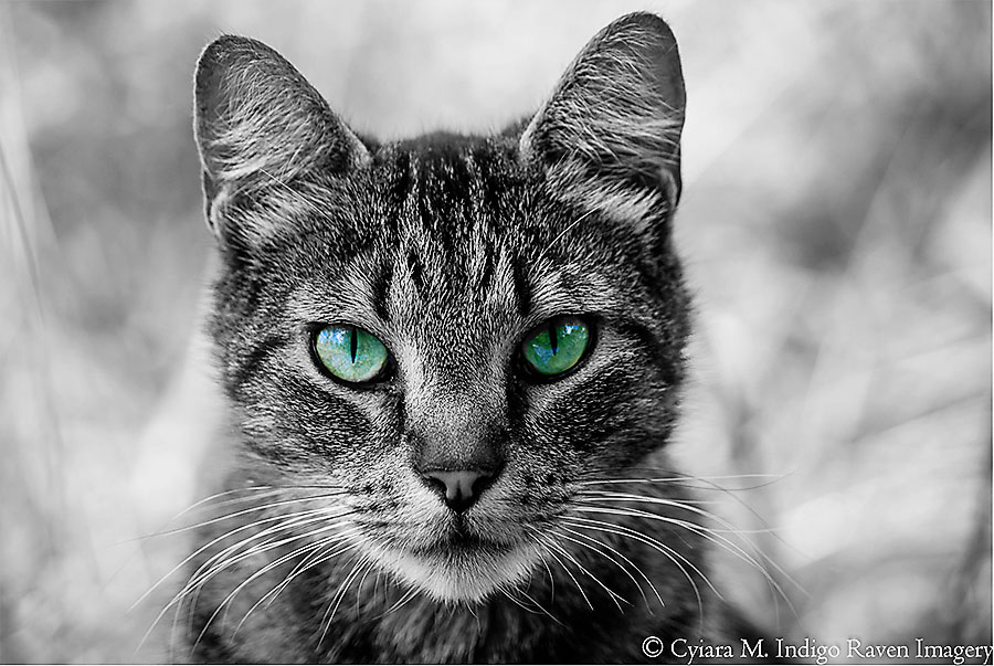 Green eyed cat. by IndigoRavenImagery