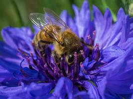 Honey Bee on Bachelor Button