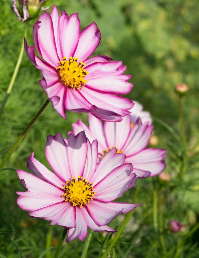 Pretty Pink Cosmos Flowers By Reenaj On Deviantart