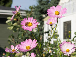 Honey Bee and Pink Cosmos Flowers by reenaj