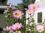 Honey Bee and Pink Cosmos Flowers