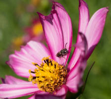 Small Bee on Cosmos by reenaj