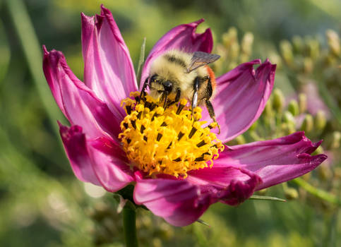 Bumblebee in a pink cosmos