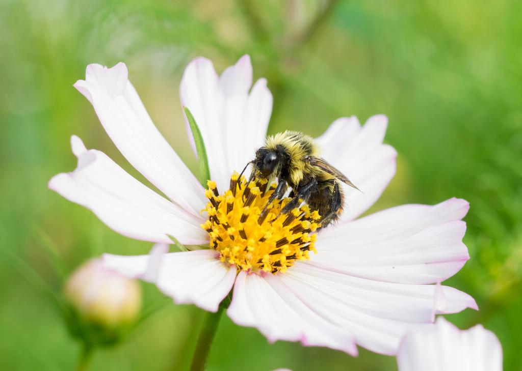 Bumblebee on white cosmos flower by reenaj on deviantart bumblebee on white cosmos flower by reenaj mightylinksfo