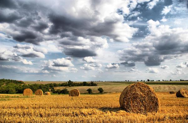 cornfield by Carolein90