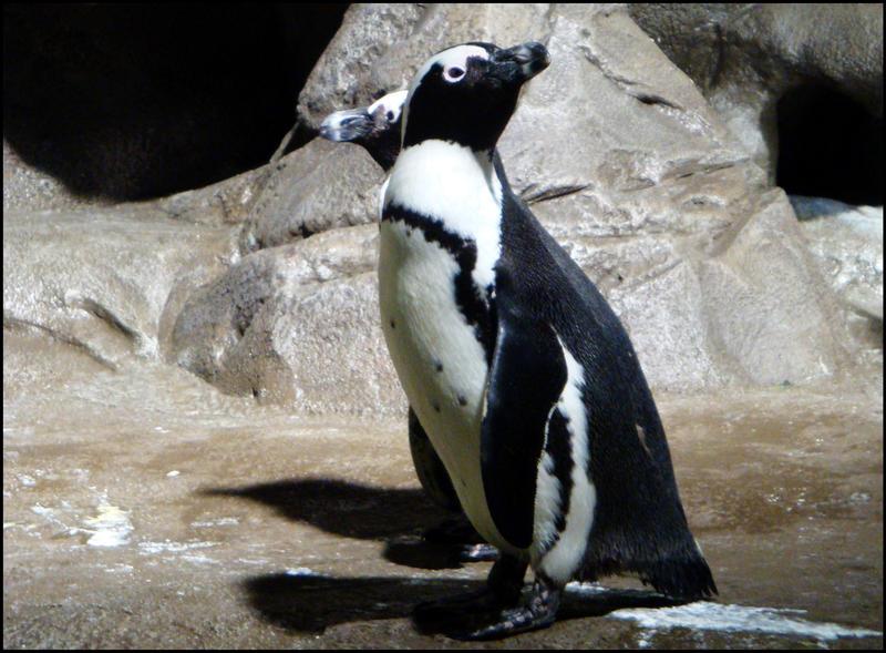 Penguins by k-ee-ran