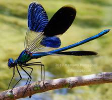 Dragonfly Calopteryx Splendens by Othersign