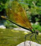 Dragonfly Calopteryx green
