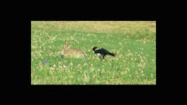 Hyperactive magpie and rabbit by Othersign