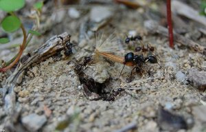 Ant's Return I by Insect-Lovers-Club