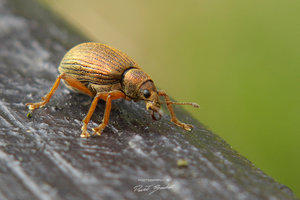 Like an elephant by Insect-Lovers-Club