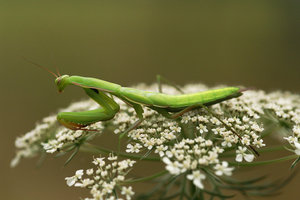 Praying mantis   . by Insect-Lovers-Club