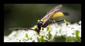 Wasp by angela80b by Insect-Lovers-Club