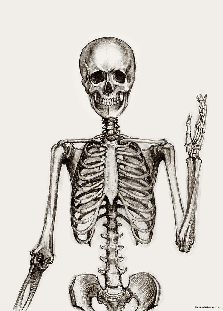 Anatomy: skeleton by Develv on DeviantArt