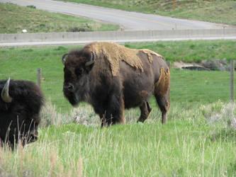 Bison 2 - Bear River