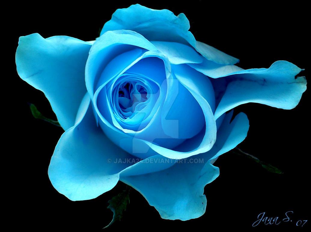 Different rose.. by Jajka24