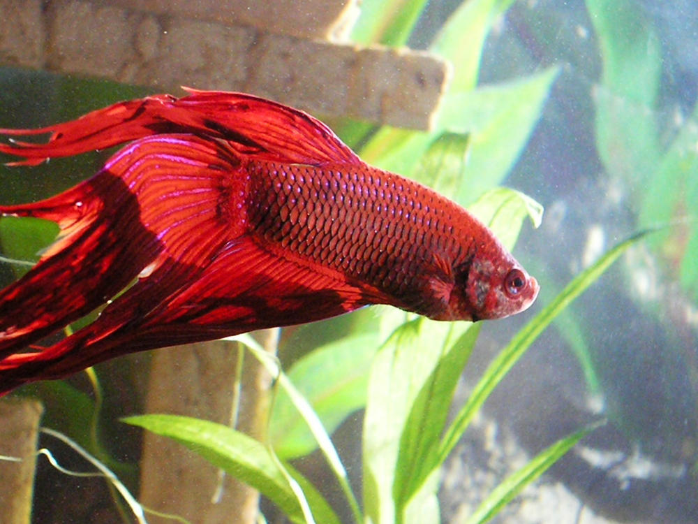 old bloated betta tropical fish forums