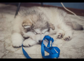 Sleeping beauty (Alaskan Malamute puppy)