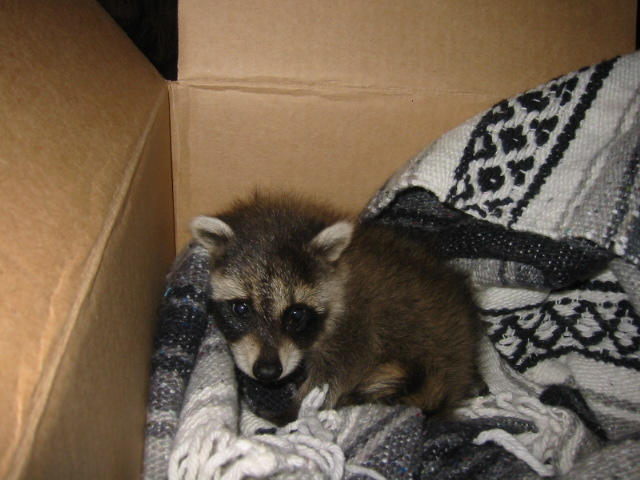 Orphaned Raccoon by artemisarrow