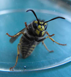 Wasp under glass by WaywardInsecticon