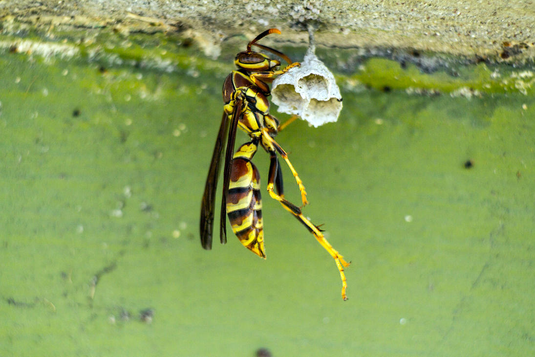 Queen Wasp Building Nest by dannypyle