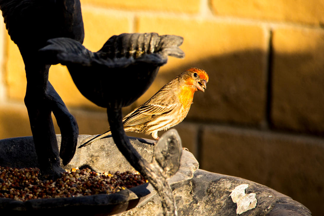 Finch at Bird Feeder by dannypyle