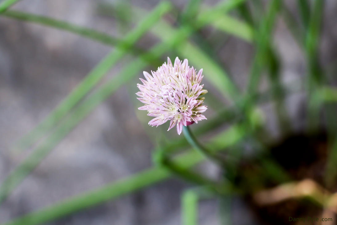 Onion Flower by dannypyle