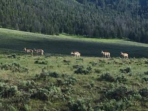 Antelopes....in America?