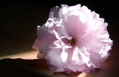 Delicate Beauty by astralXphoenix