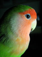 Petey the Lovebird by Phoenix-Gurl