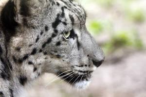 Snow Leopard by Phoenix-Gurl