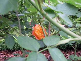 Hidden Rose by melusineblack
