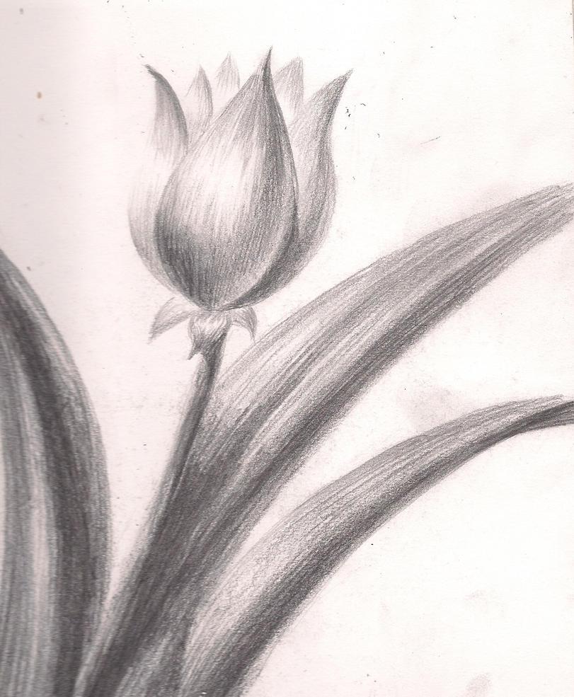 flower sketch tulip by drakanovia