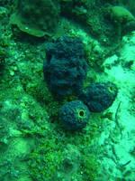 Purple tube sponge by GameraBaenre
