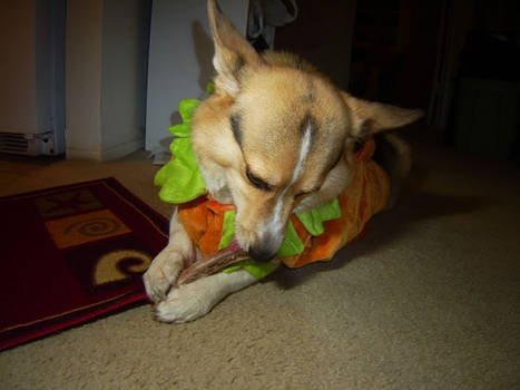 Hugo in costume chewing bone 2