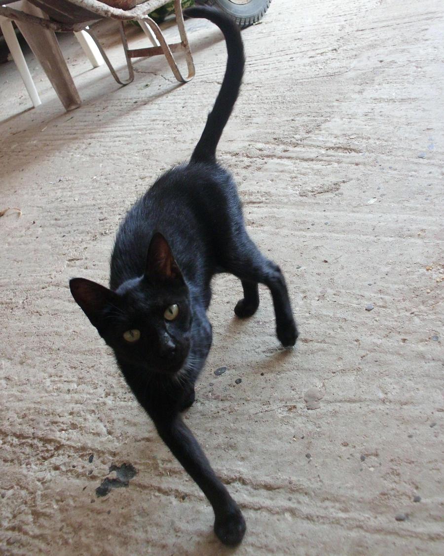 Black Cat Stock III