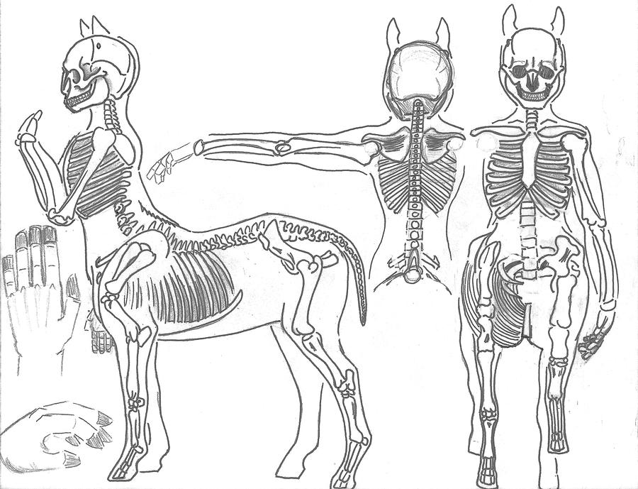 Centaur Anatomy _ Skeleton by JEDI-Sheng