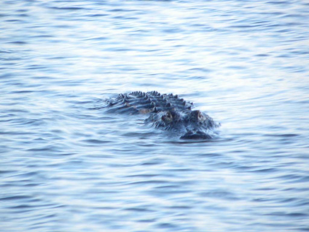 Gator 2 by artsyfartsy
