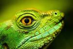 A green Lizards head