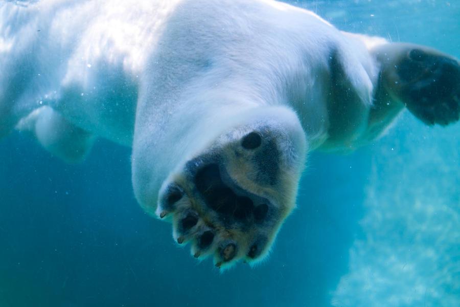 Polar bear claws - photo#13